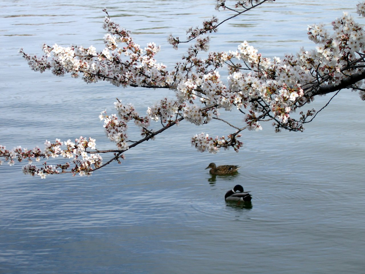 Ducks hanging around the tidal basin.  Mmmm.... duck.