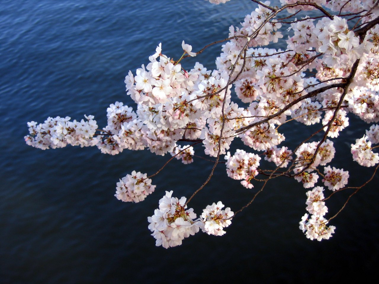 Cherry blossoms with water background