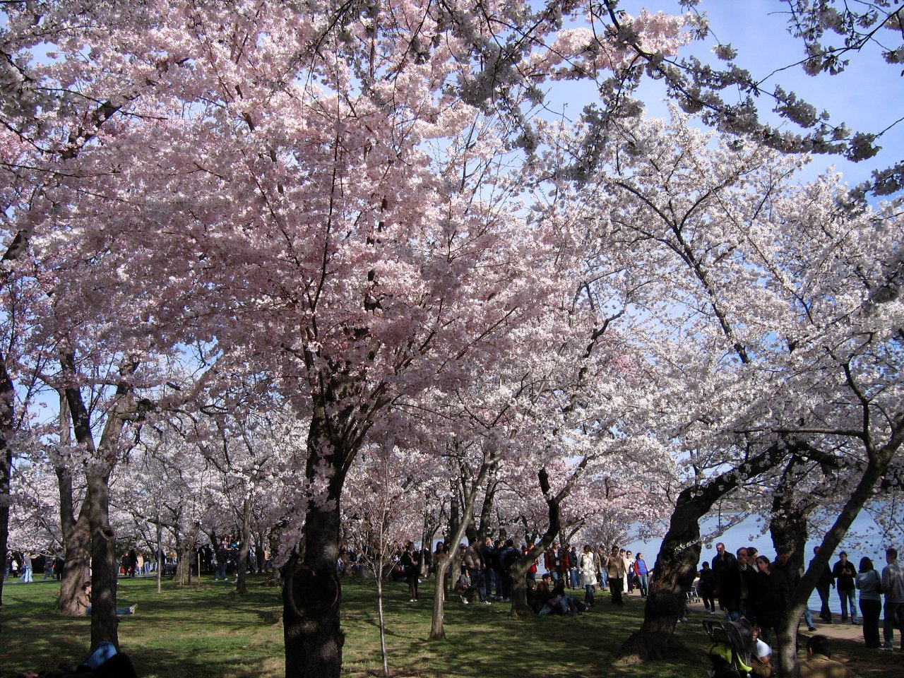 Beautiful canopy of cherry blossoms