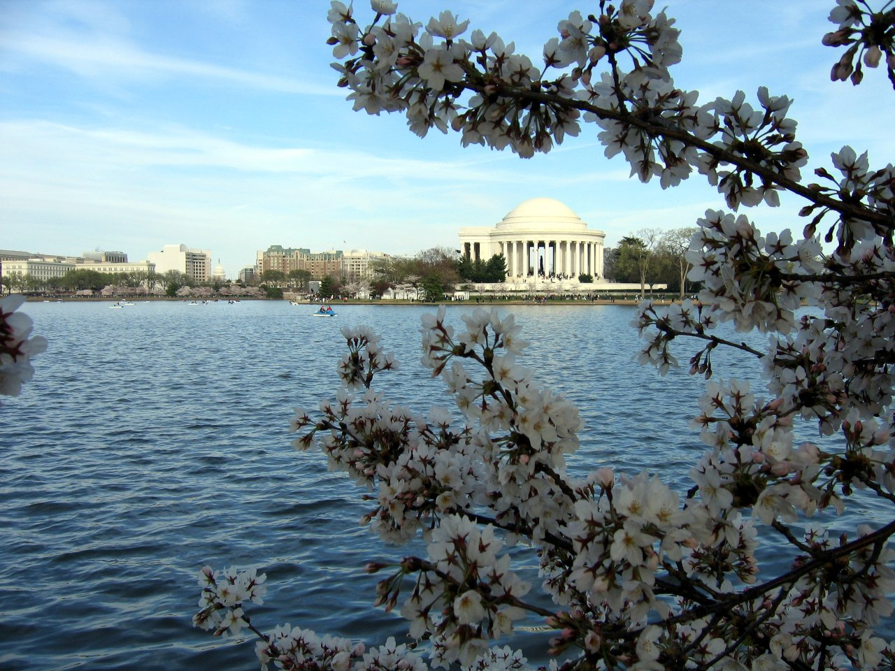 Jefferson Memorial showing through the cherry blossoms.