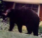 More Bear Sightings in the Neighborhood